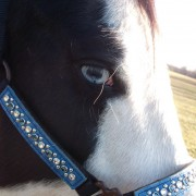Black and White Paint Mare with Custom Halter