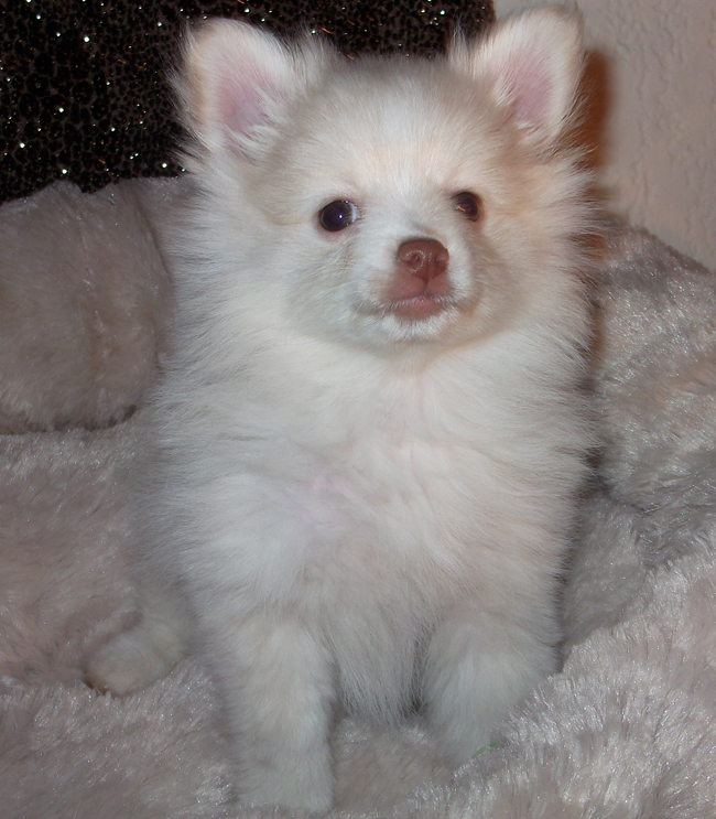 adorable cream Pomeranian