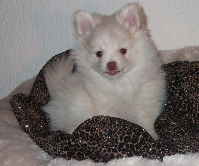 cream Pomeranian puppy